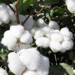 Cottonseed Extract