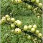 Phyllanthus embilica fruit extract
