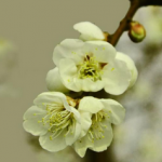 Prunus Mume Extract