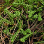 Selaginella Extract
