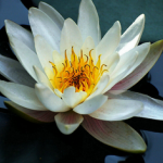 White Waterlily Extract