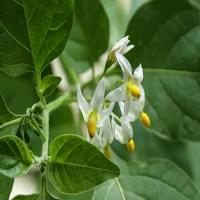 Black Nightshade Herb Extract