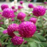 Globe Amaranth Flower Extract