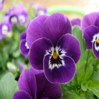 Pansy Extract